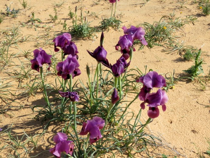 Iris mariae IMG_9696
