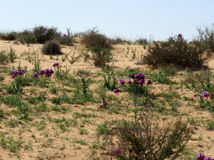 Iris mariae IMG_9766