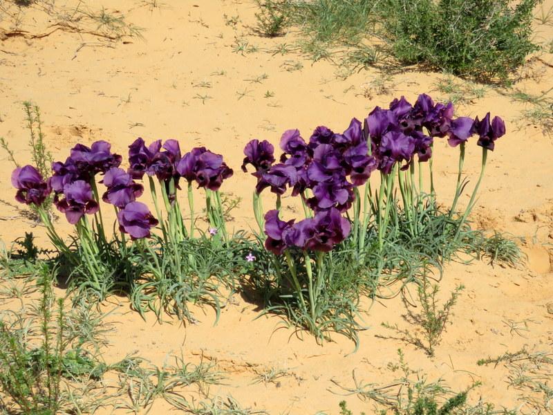Iris mariae IMG_9906