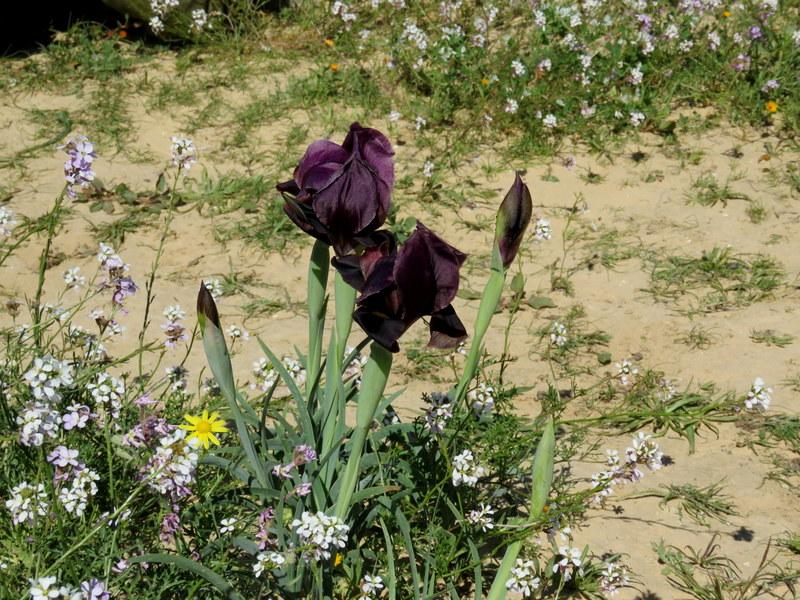 Iris petrana IMG_0191