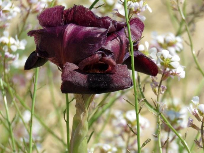 Iris petrana IMG_0222