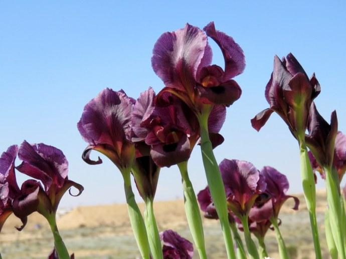 Iris petrana IMG_0322
