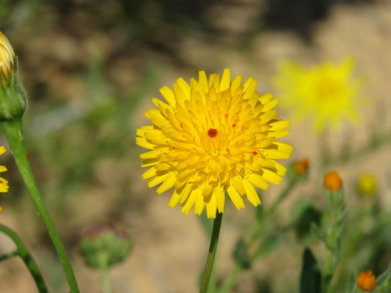 Picris asplenioides IMG_9688