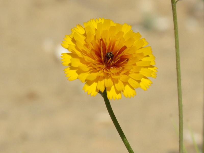Picris asplenioides IMG_9787