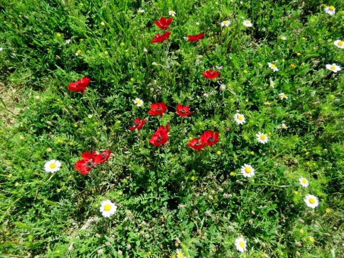 Ranunculus asiaticus IMG_0113