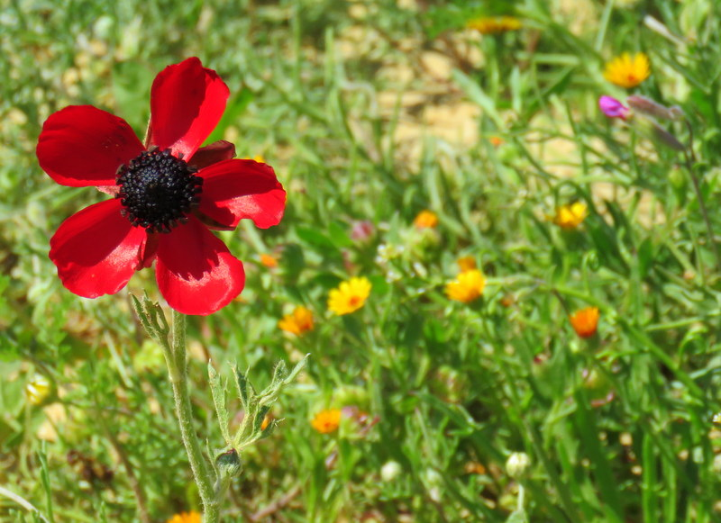 Ranunculus asiaticus IMG_0156