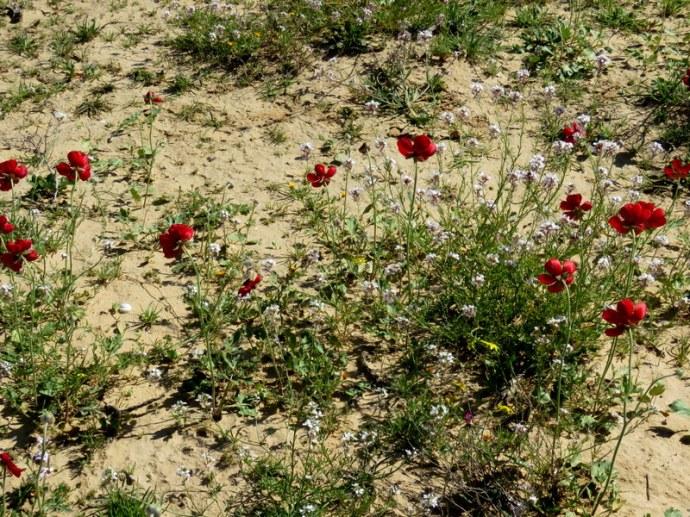 Ranunculus asiaticus IMG_0188