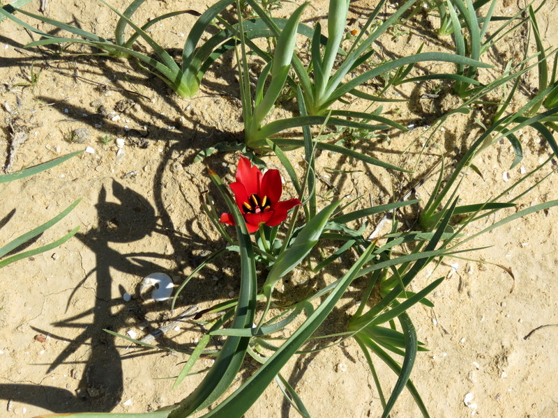 Tulipa systola IMG_0231