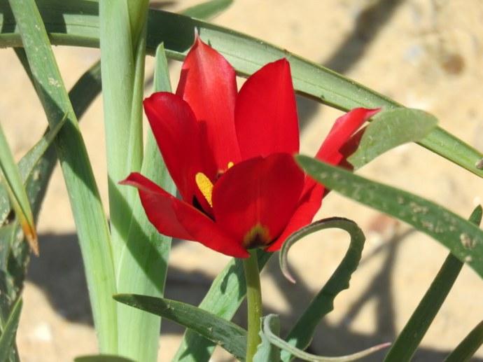 Tulipa systola IMG_0236