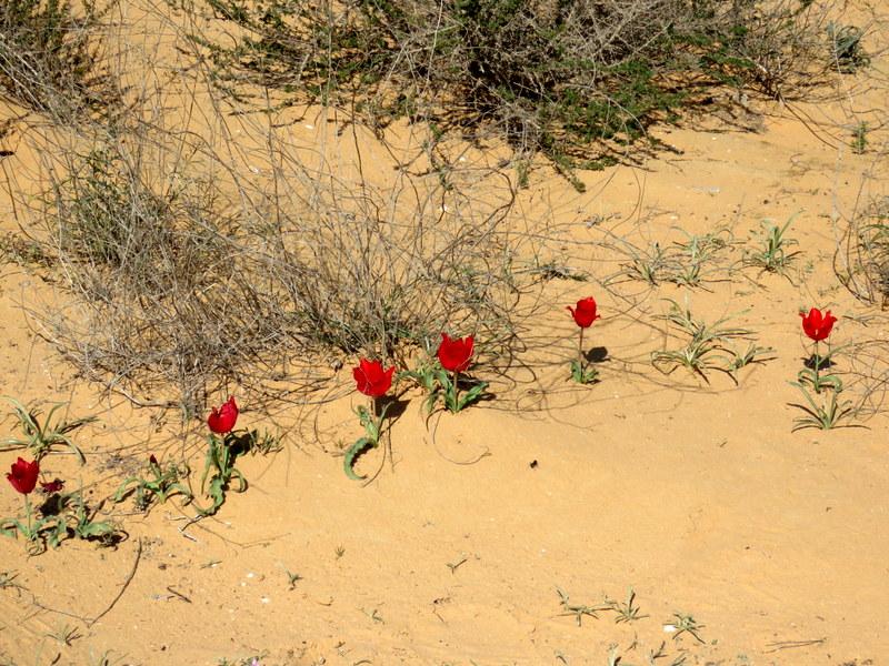 Tulipa systola IMG_9726