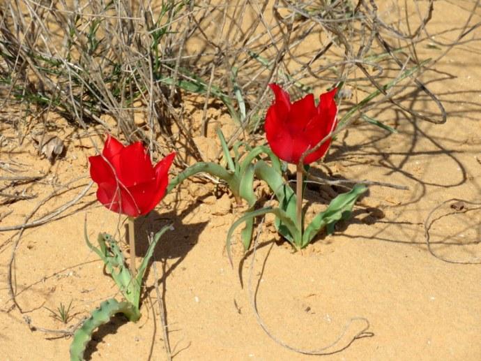 Tulipa systola IMG_9727
