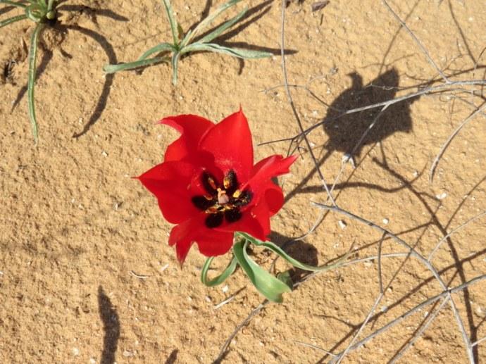 Tulipa systola IMG_9737