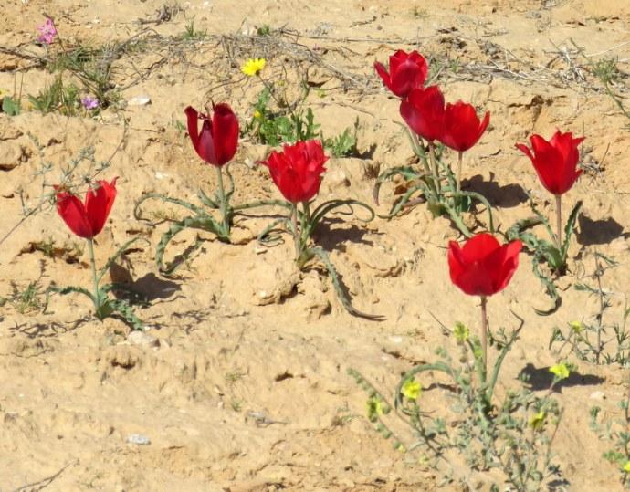 Tulipa systola IMG_9779-001