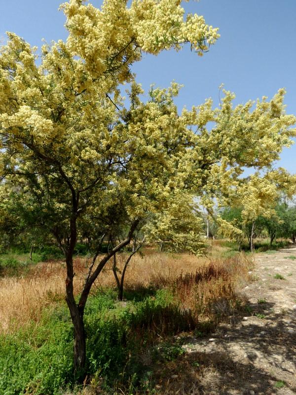 Acacia_Victoriae IMG_3175-001