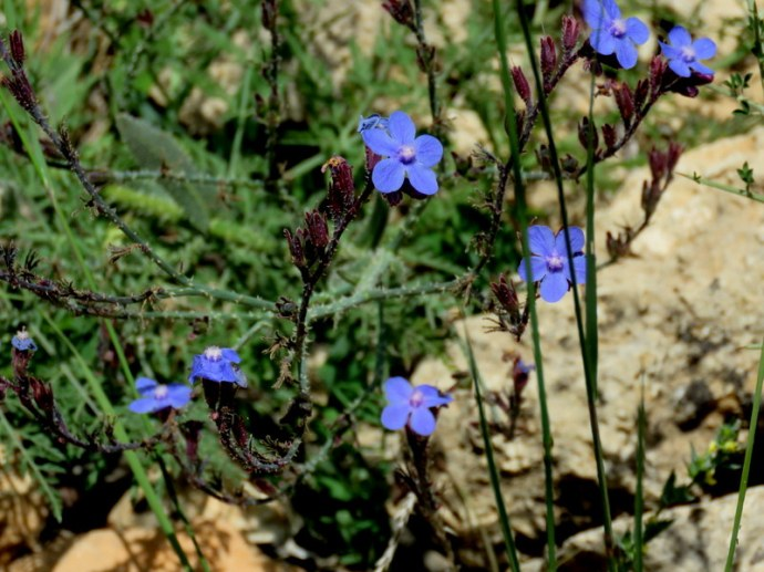 Anchusa azurea IMG_3112