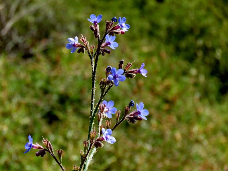 Anchusa azurea IMG_3131