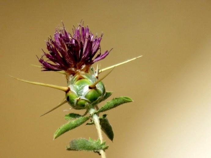 Centaurea pallescens IMG_3250