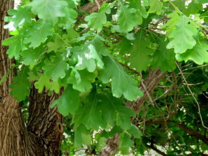 Dub_Quercus IMG_4488