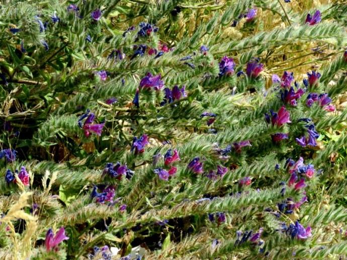 Echium judaeum IMG_3258