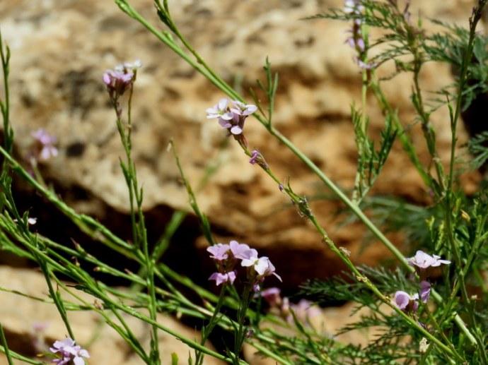 Erucaria rostrata IMG_3059