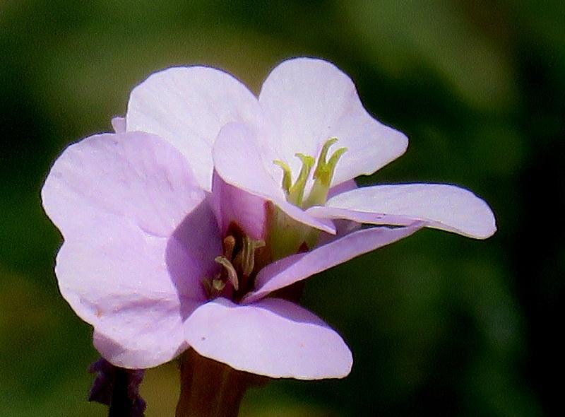 Erucaria rostrata IMG_3061