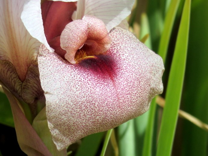 Iris lortetii_IMG_3073