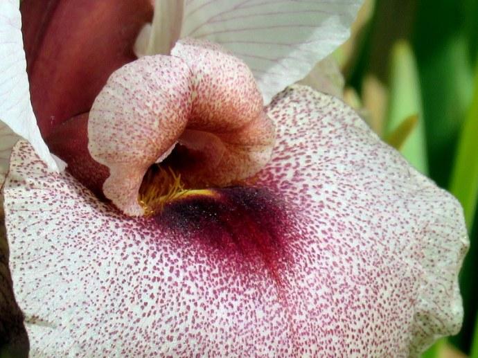 Iris lortetii_IMG_3074-001
