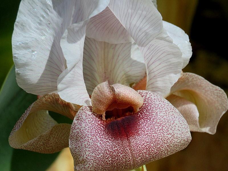 Iris lortetii_IMG_3076-001