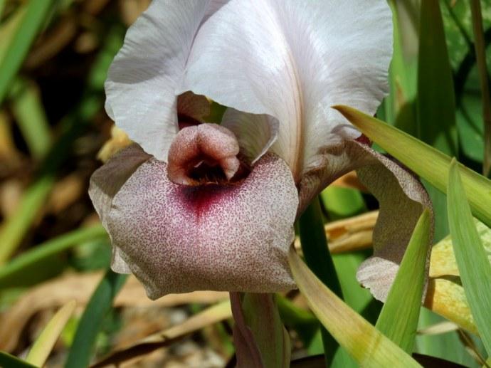 Iris lortetii_IMG_3079