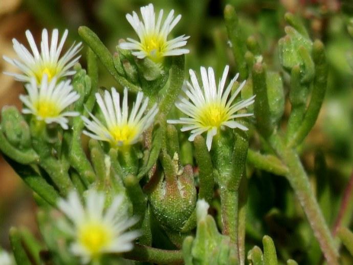 Mesembryanthemum nodiflorum IMG_3188