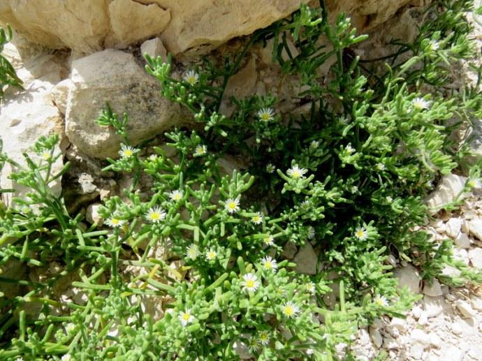 Mesembryanthemum nodiflorum IMG_3228