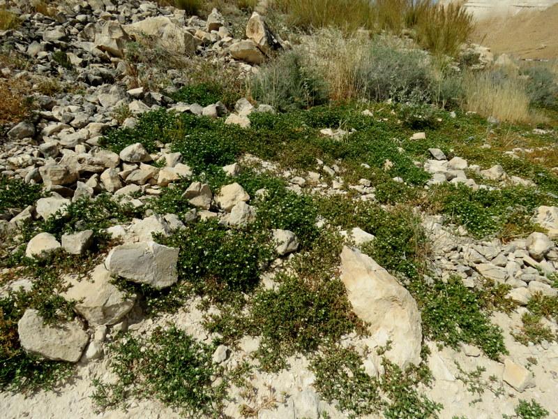 Mesembryanthemum nodiflorum IMG_3229