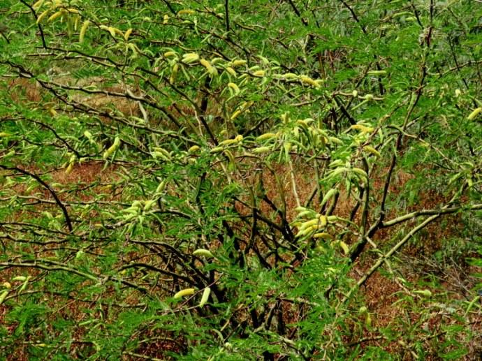 Prosopis juliflora IMG_3190