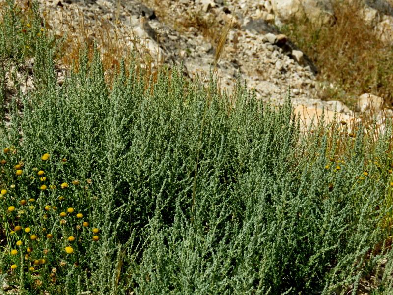 Salicornia europaеa  IMG_3251