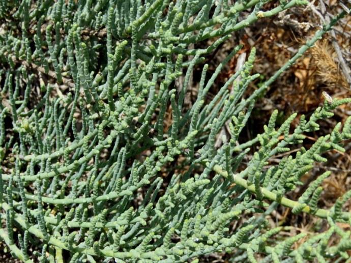 Salicornia europaеa  IMG_3329