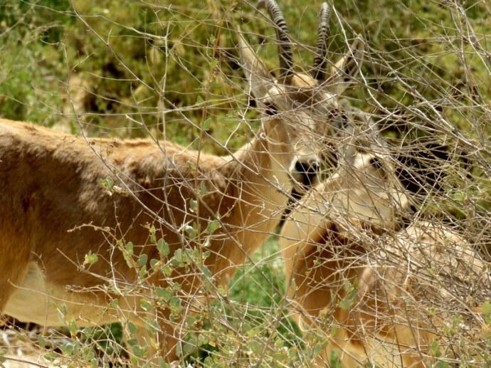 Gazella gazella IMG_7606