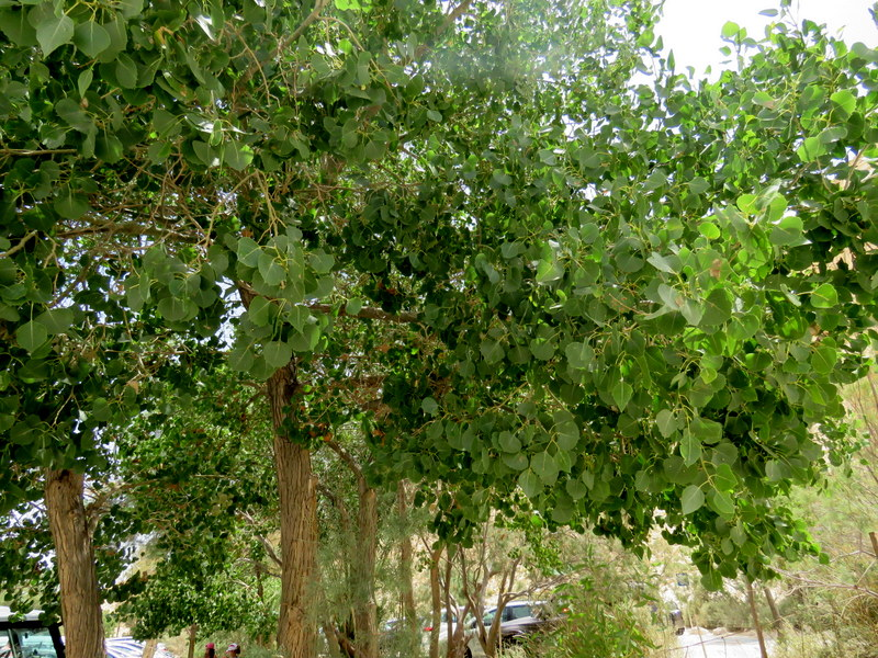 Populus euphratica IMG_7700