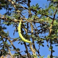 Acacia pachyceras_sin_ gerrardii_IMG_2107-001 (2)