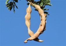 Acacia pachyceras_sin_ gerrardii_IMG_2108-001 (2)