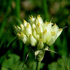 Allium orientalis IMG_8962-001