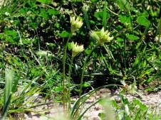 Allium orientalis IMG_8970-001