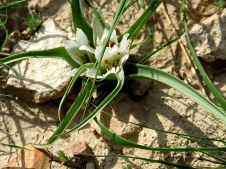 Androcymbium palaestinum IMG_7995-001