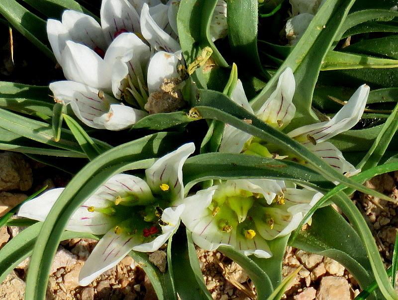 Androcymbium palaestinum IMG_8109-002
