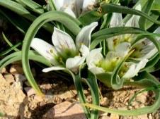 Androcymbium palaestinum IMG_8111-001