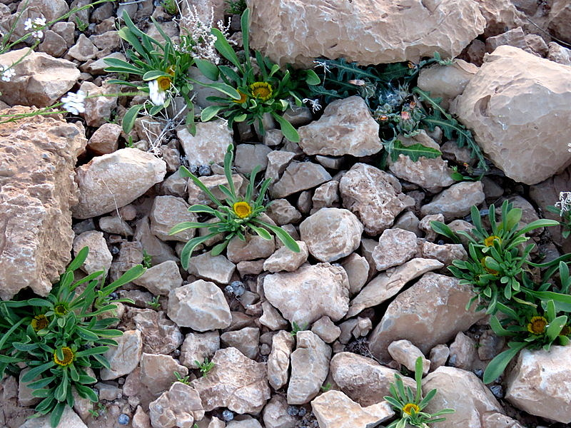 Asteriscus hierochunticus IMG_9900-001