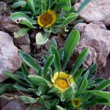 Asteriscus hierochunticus IMG_9902-001