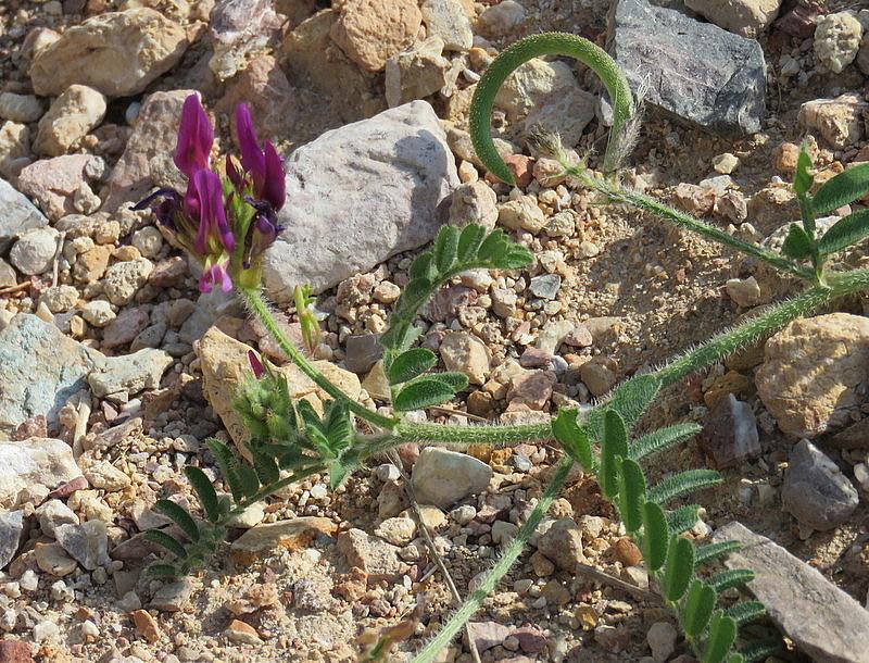 Astragalus amalecitanus IMG_8091-001