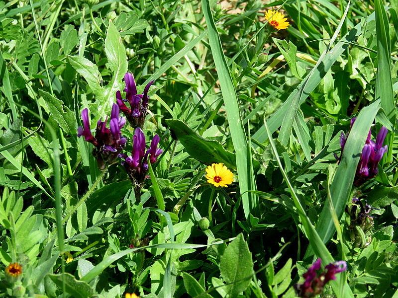 Astragalus callichrous IMG_9447-001