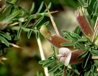 Astragalus spinosus IMG_7867-003