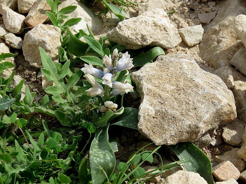 Bellevalia desertorum IMG_7738